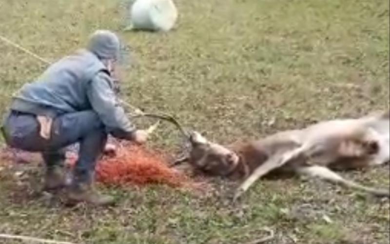 Cervo liberato da una rete da pascolo