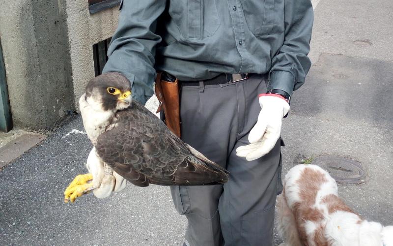 falco pellegrino soccorso trauma da collisione