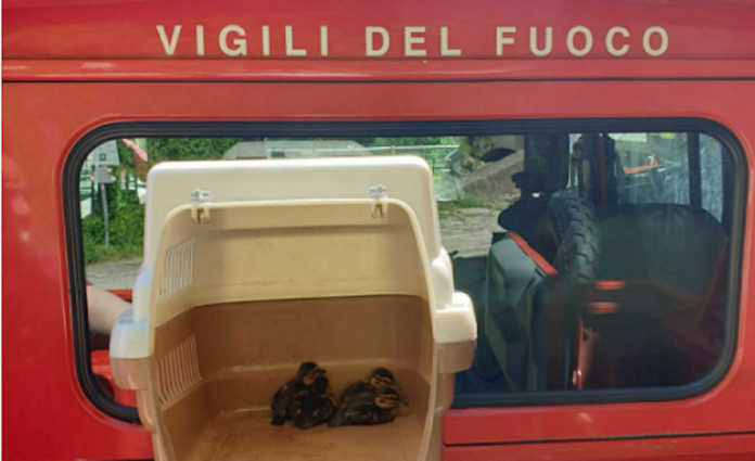 Vigili del Fuoco anatroccoli salvati