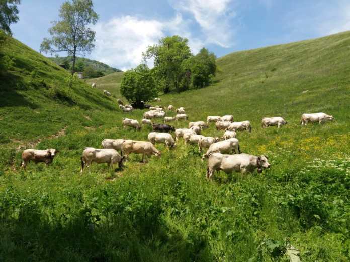 Alpe di Desio Mucche