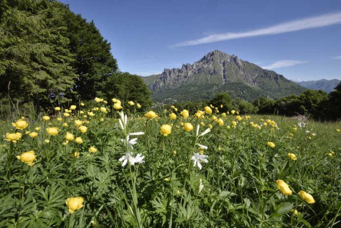 Fioritura di Botton d'oro e Gigli di San Bruno in località Paradiso, sullo sfondo la Grignetta (foto Lanfranchi)